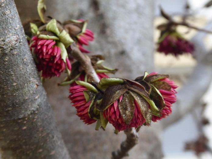fiori di colore rosso vivo della pianta di parrotia persica