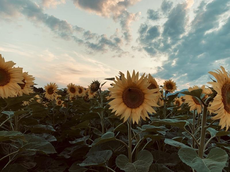 I fiori del Sole