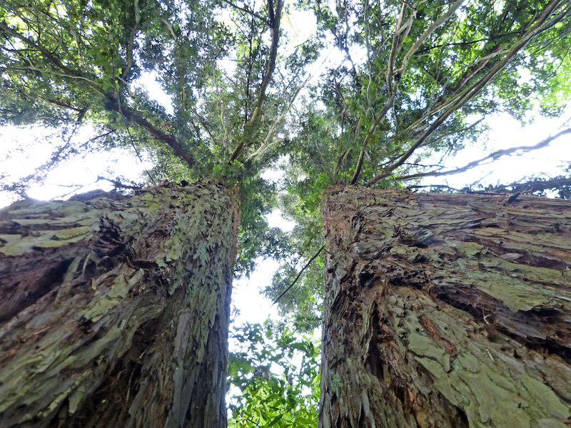 Metasequoia glyptostroboides, il gigante buono di Villa Ada