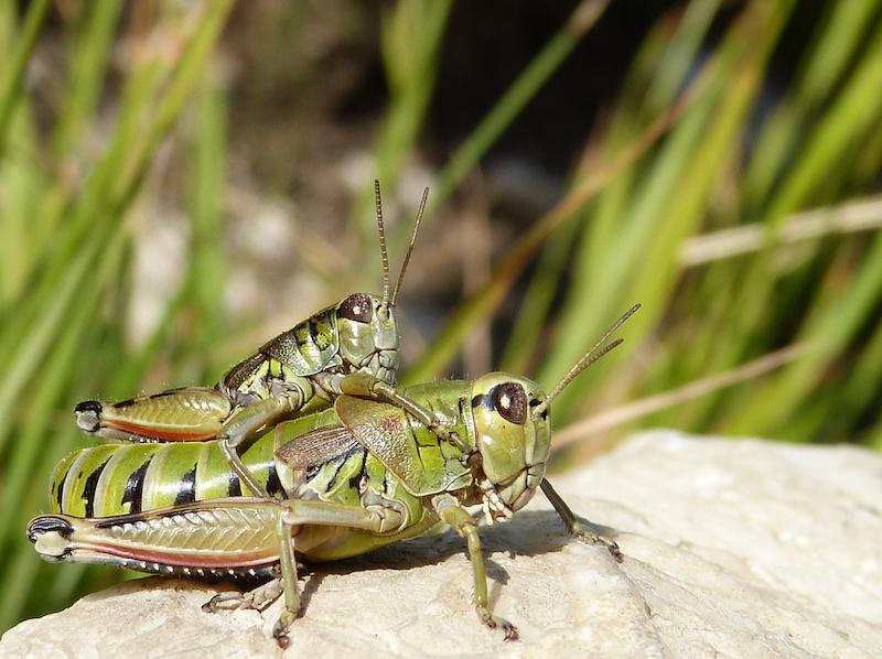 Podisma silvestrii, una rara specie endemica dei Monti Sibillini