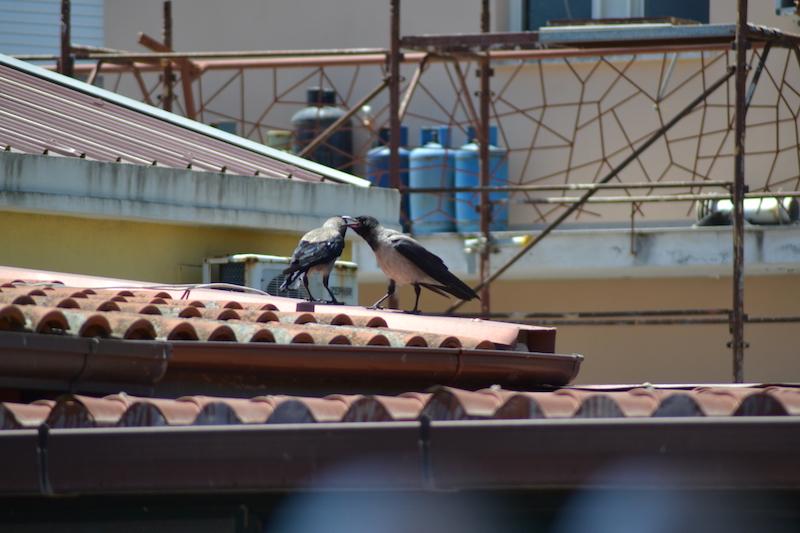 Cornacchie sui tetti in città