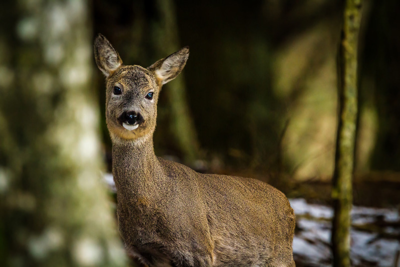 Capriolo nel bosco