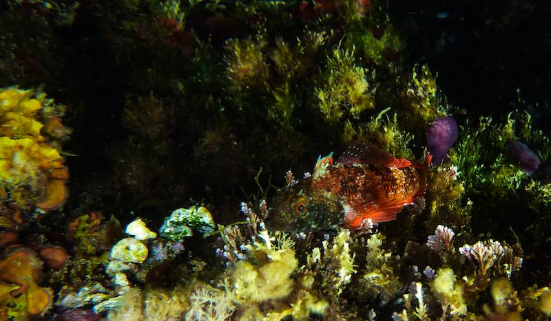 Peperoncino di mare (Tripterygion tripteronotus)