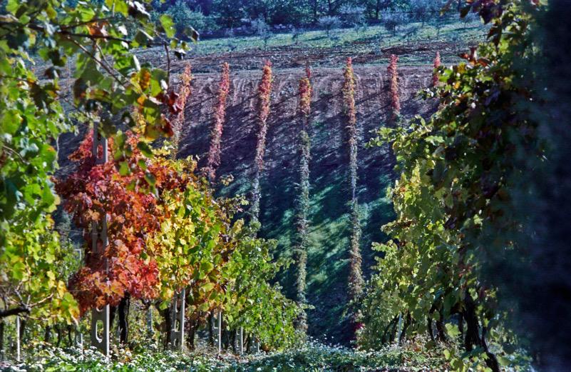 Un paesaggio di viti a Torre di Palme