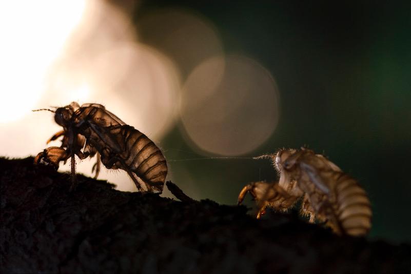 Esuvie di cicala