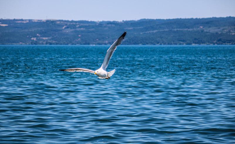 Un gabbiano sul lago di Bolsena