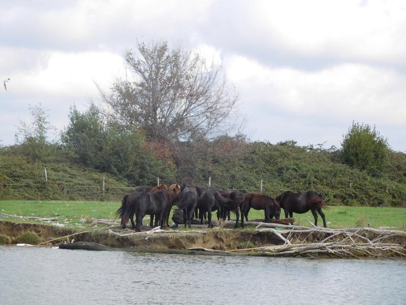 Cavalli al pascolo a San Rossore (PI)
