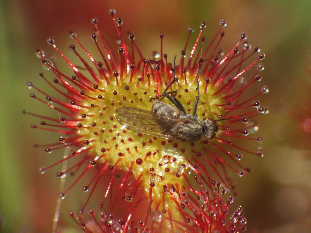 Drosera rotundifolia, la Rugiada del Sole