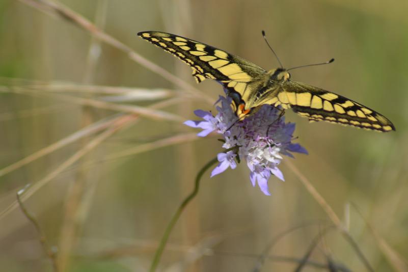 Farfalla (Macaone)