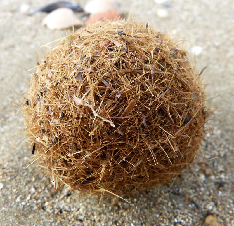 Una sfera che racconta il mare: gli egagropili di Posidonia oceanica