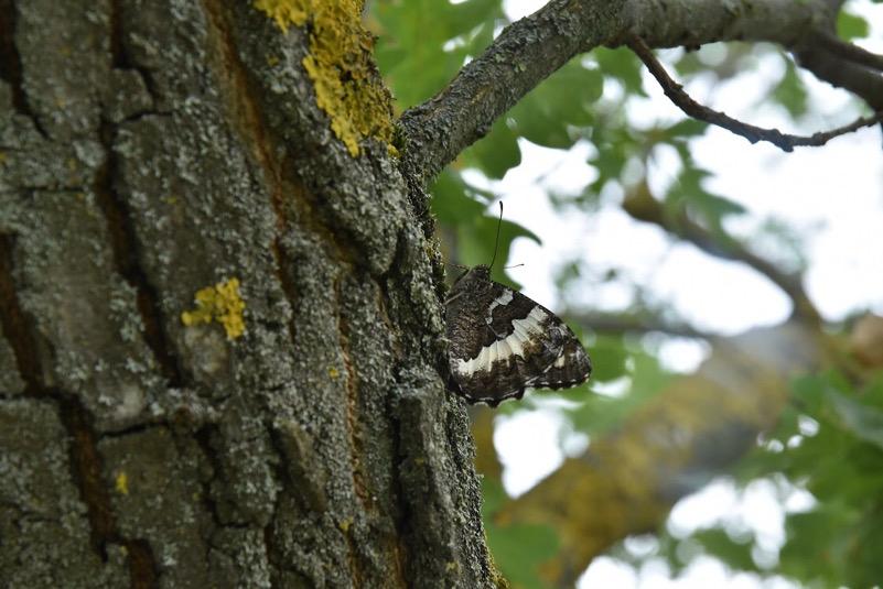 farfalla in bosco paranceto