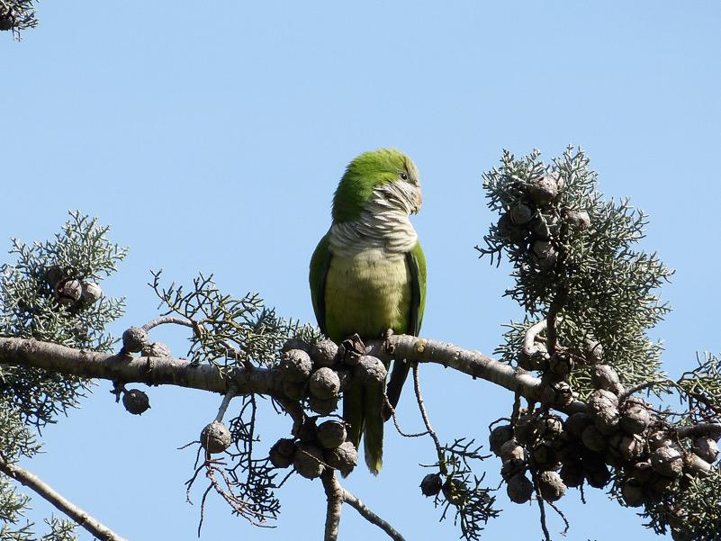 Un alieno... tutto verde: Myiopsitta monachus, il