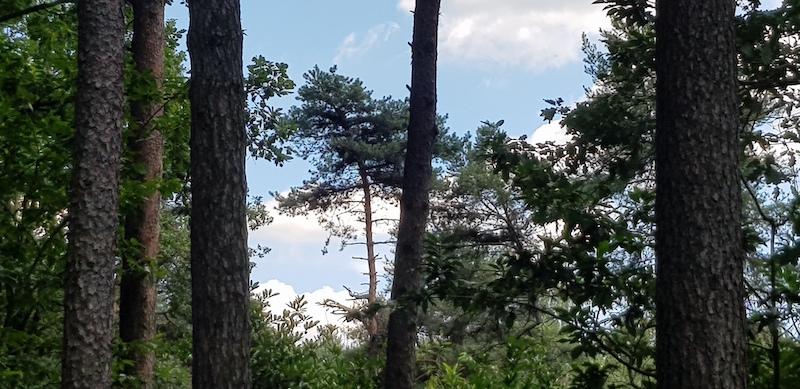 Quel ciel di Lombardia ... conifere del Parco Pineta di Appiano Gentile