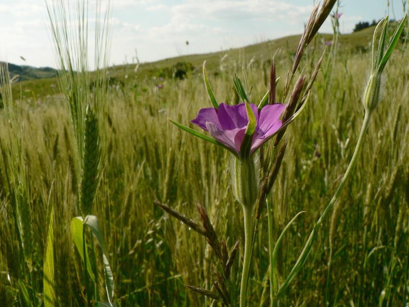 Agricoltura sostenibile: grano e gittaione (infestante?)