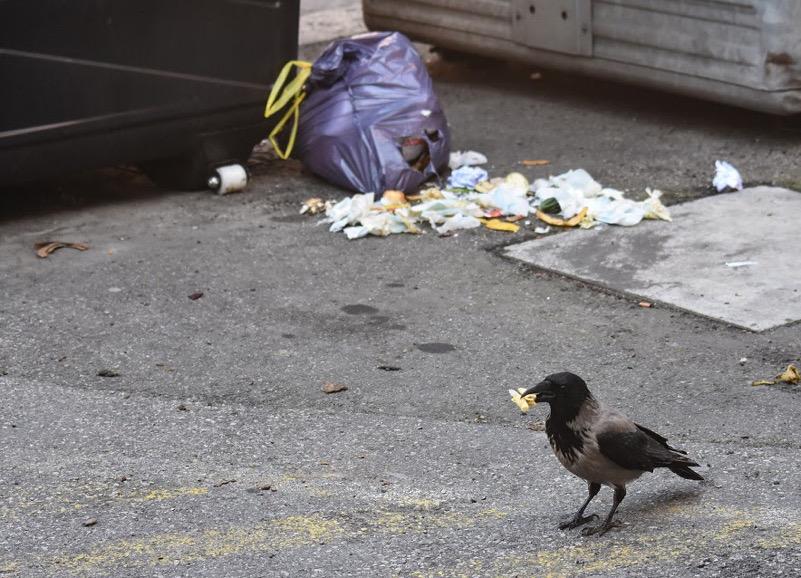 rifiuti per terra e cornacchia che approfitta