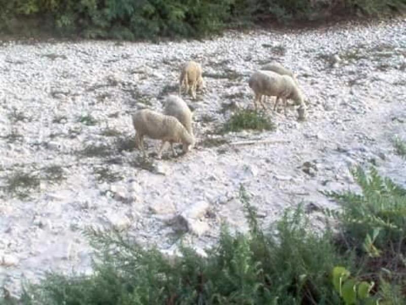 Pecore in Carza