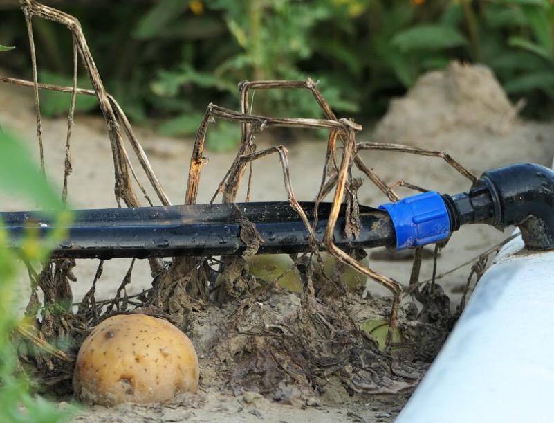 Patate irrigazione intensiva