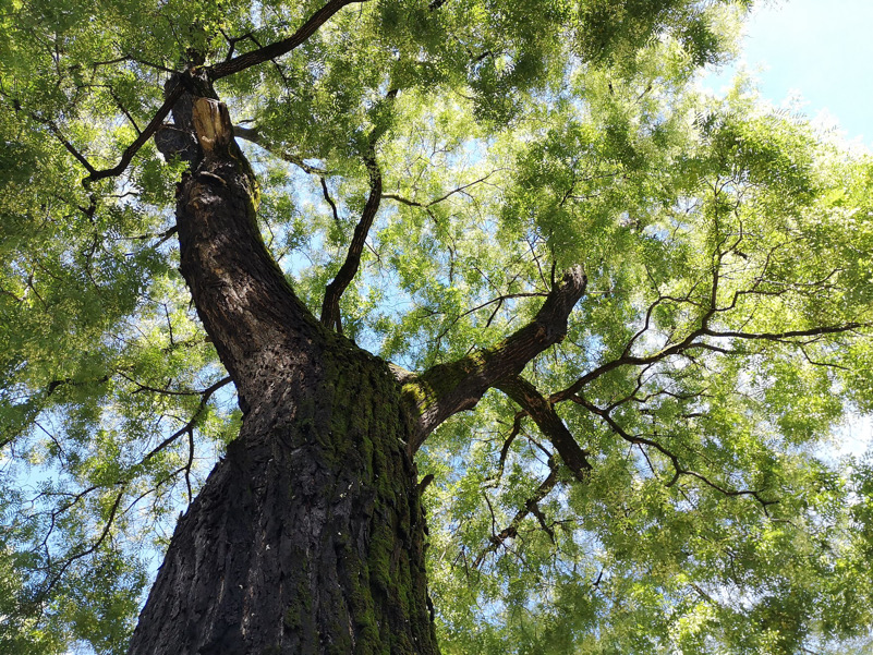 Verde pubblico, importante per migliorare il clima in città (Styphnolobium, Bressanone)