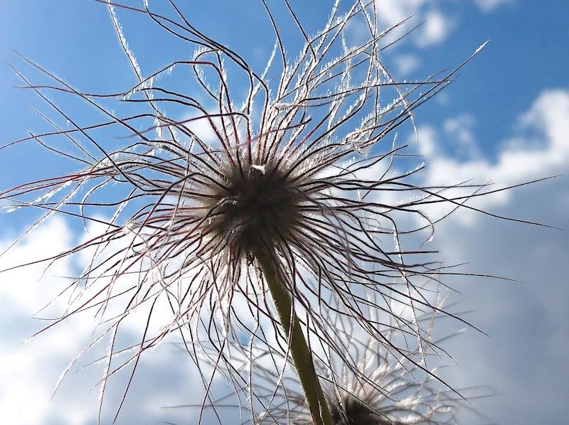 Anemone alpina: spettinato di natura.