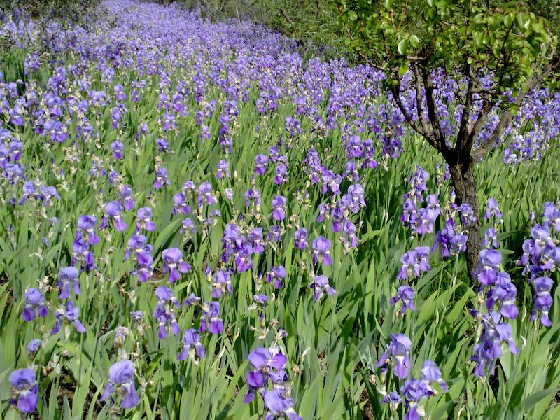 Iris a Faltognano