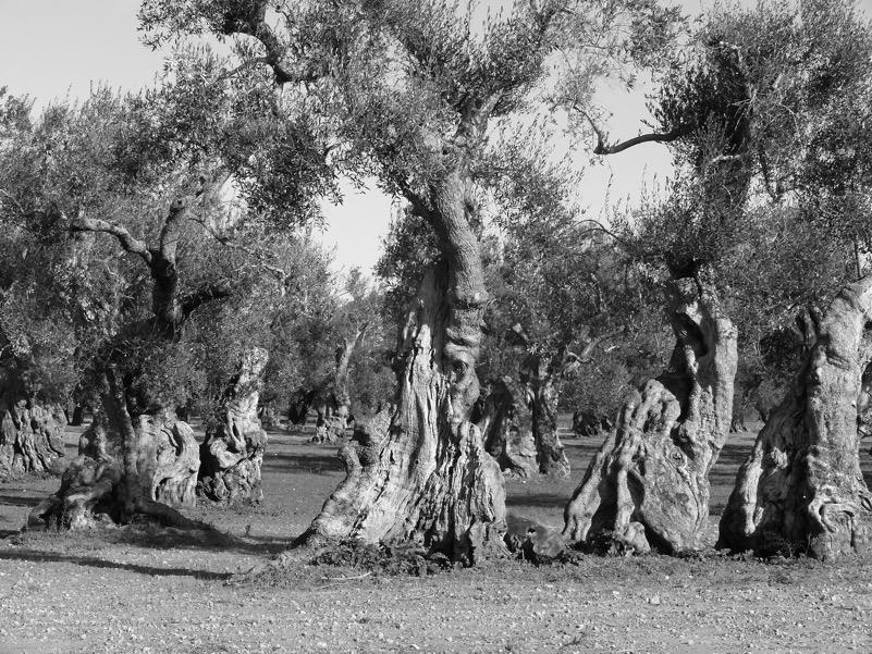Foreste di olivi secolari del Salento...che non ci sono più !