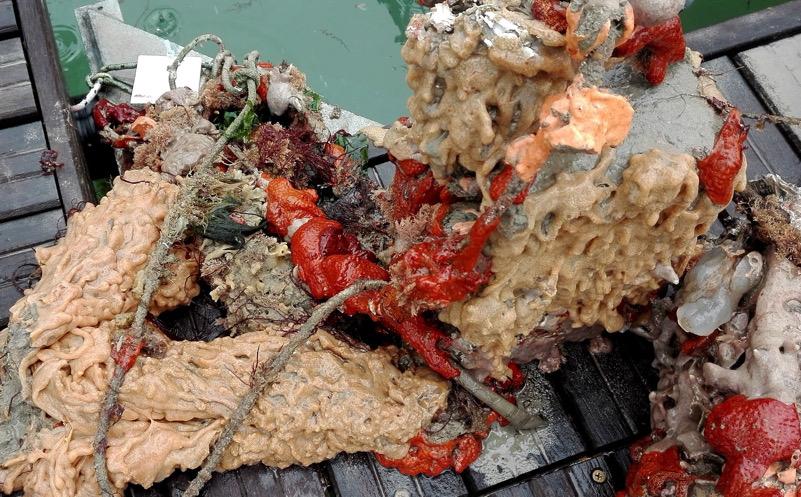 Rock Vomit (specie invasiva)