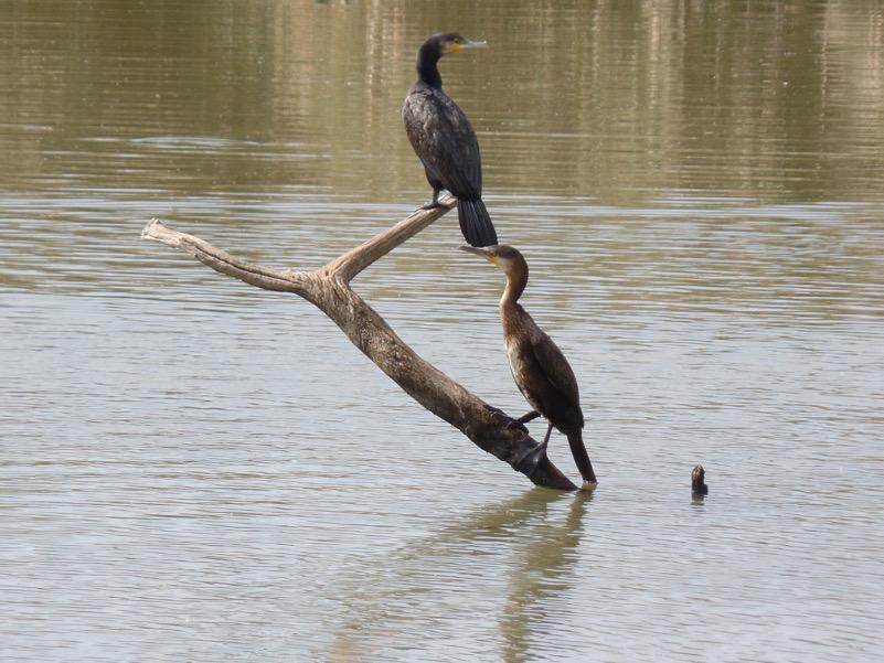 Riverside - Phalacrocorax carbo nell'Oasi di Macchiagrande