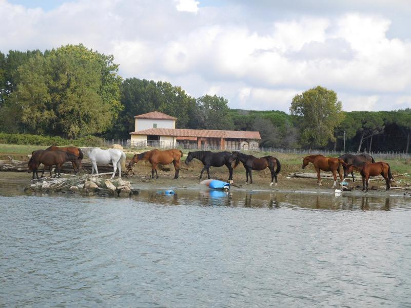 Cavalli al pascolo a San Rossore (Pisa)