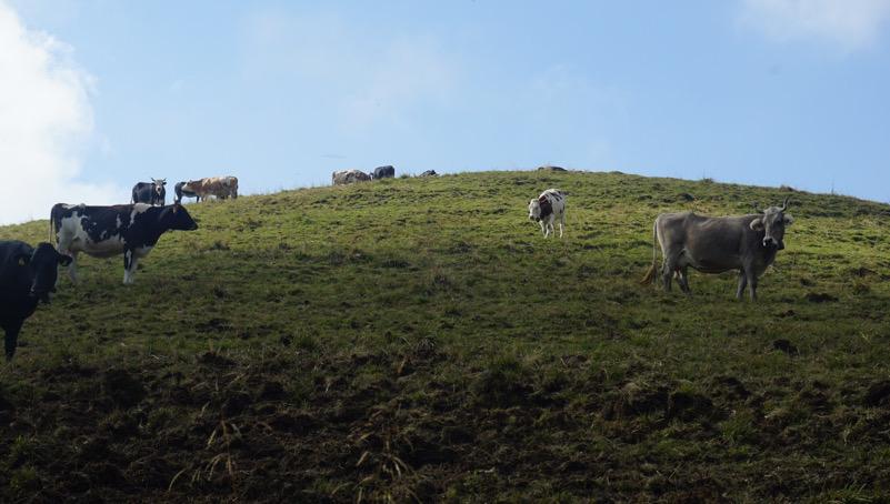 mucche pascolando