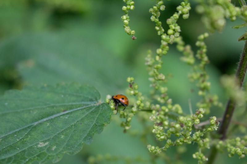 Little LadyBug (Laghi di Monticchio)